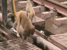 Xúc động xem khỉ cứu bạn thoát chết trên đường ray