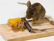 Chuyện không tưởng về chú chuột và cái bẫy