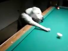 Há hốc mồm với kỹ năng chơi bida của chó