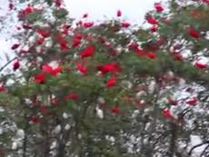 Ngỡ ngàng với bầy chim thoạt nhìn tưởng hoa phượng đỏ