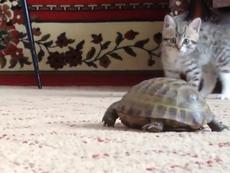 Ngộ nghĩnh mèo con sợ rùa