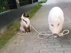 Điều gì xảy ra nếu mèo dắt heo đi dạo?