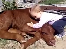 Đáng yêu xem bé gái âu yếm bò con
