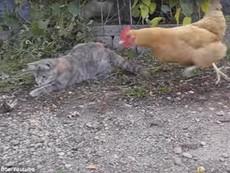 Bá đạo gà cướp mồi ngon của mèo