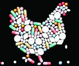 Nguy hại khi chăn nuôi với kháng sinh