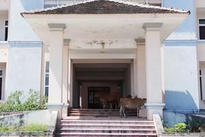 Trụ sở xã thành nơi trốn nắng cho bò