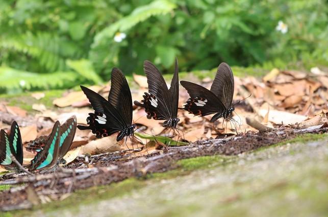 Mê mệt với 'vũ điệu của bướm' ở Chư Yang Sin
