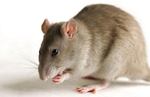 Kết quả hình ảnh cho chuột trong nhà hàng