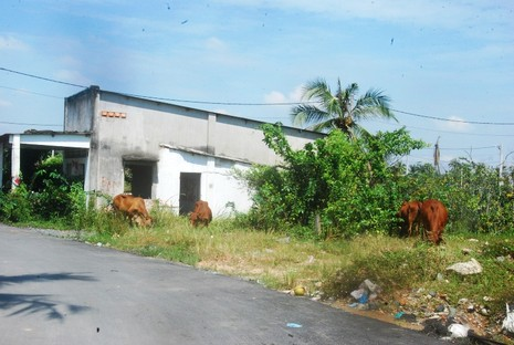 Khu đô thị lớn nhất quận 9 làm nơi chăn bò - ảnh 7
