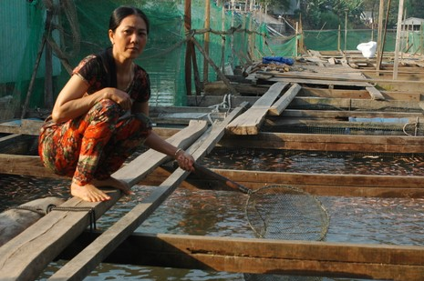 Gần 400 tấn cá lồng bè chết do thiếu ôxy trong nước - ảnh 1