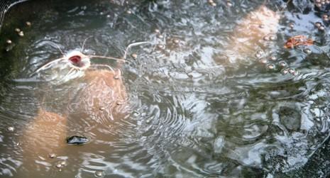 Lạ lùng cá trê hồng phấn ở Cần Thơ - ảnh 1