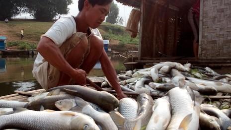 Thanh Hóa: Cá chết trắng bụng hàng chục tấn, dân chỉ biết khóc  - ảnh 1