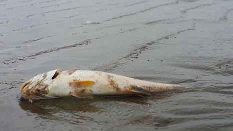 Vẫn chưa rõ nguyên nhân cá chết dạt vào bờ biển Nghệ An - ảnh 1