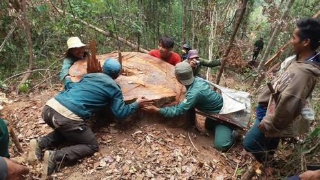 Một gốc cây lớn 4 ngườ ôm bị đốn hạ trong rừng.