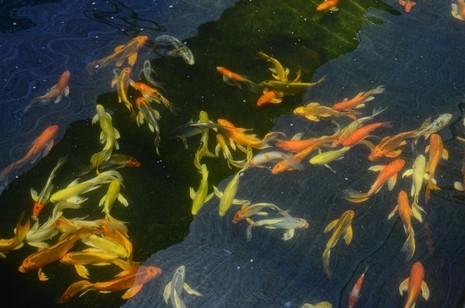 Cá Koi 'khủng' của Nhật về vùng ven Sài Gòn - ảnh 1
