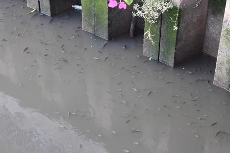 Cá thoi thóp nổi đầy trên kênh Nhiêu Lộc - ảnh 1