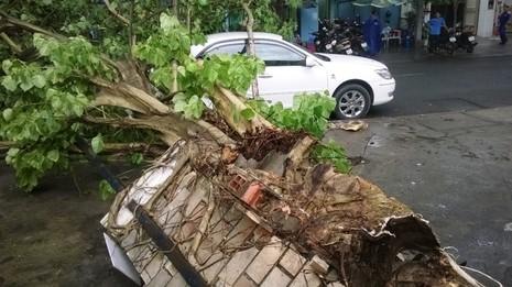 Cây bồ đề lớn bị đổ sập sau trận mưa ngay trung tâm TPHCM - ảnh 3