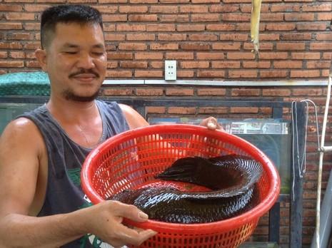 Choáng với cá lóc khủng nuôi trong... hồ kiếng - ảnh 1
