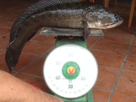 Choáng với cá lóc khủng nuôi trong... hồ kiếng - ảnh 2