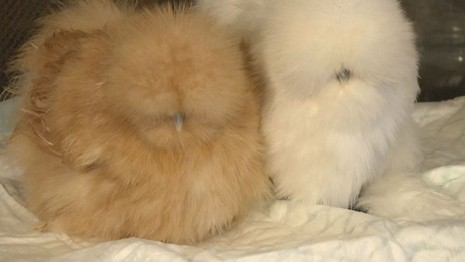 635532167537185460-web-pic-tight-silkie-chickens-0300d