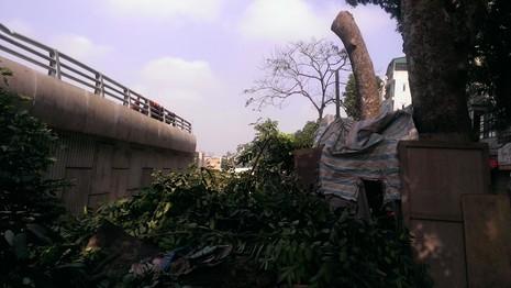 Hà Nội tiếp tục đốn hạ hàng loạt cây cổ thụ - ảnh 5