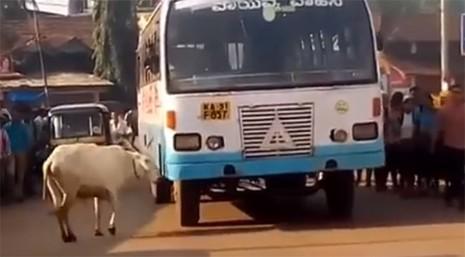 Câu chuyện cảm động về bò mẹ 4 năm ròng rã chặn đường xe buýt trả thù cho con - Ảnh 2.