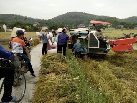 Nông dân Hải Phòng gặt lúa chạy bão số 7  - ảnh 2