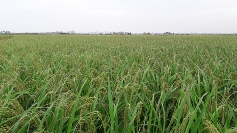 Nông dân Hải Phòng gặt lúa chạy bão số 7  - ảnh 1