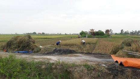 Nông dân Hải Phòng gặt lúa chạy bão số 7  - ảnh 10