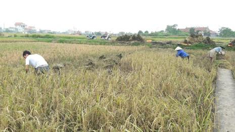 Nông dân Hải Phòng gặt lúa chạy bão số 7  - ảnh 3