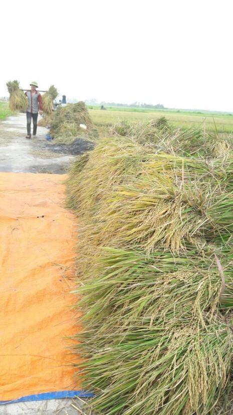 Nông dân Hải Phòng gặt lúa chạy bão số 7  - ảnh 9