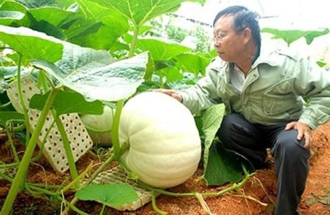 Chiêm ngưỡng những trái bí khổng lồ ở Đà Lạt - ảnh 1