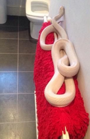 Kinh hoàng: Phát hiện rắn trắng dài gần 2m trong nhà tắm - ảnh 2