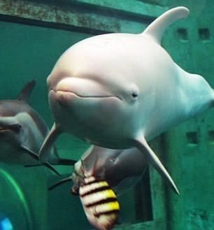 Chú cá heo đổi màu khi tức giận hoặc buồn bã - ảnh 1