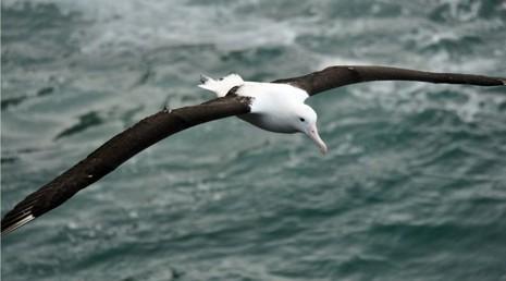 Loài chim 'khủng' có cánh dài 7 mét - ảnh 1