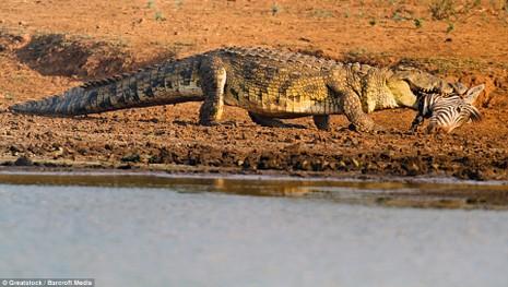 Hà Mã tấn công chú cá sấu 'tham ăn' - ảnh 1