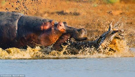 Hà Mã tấn công chú cá sấu 'tham ăn' - ảnh 3