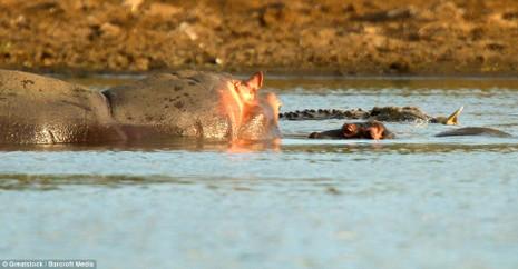 Hà Mã tấn công chú cá sấu 'tham ăn' - ảnh 2