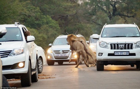 Màn săn mồi kinh hoàng của sư tử trên đường xe chạy  - ảnh 3