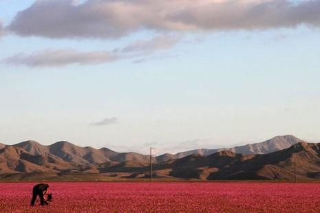Sa mạc khô cằn bỗng chốc thành 'rừng hoa' đẹp ngỡ ngàng - ảnh 2