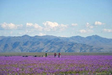 Sa mạc khô cằn bỗng chốc thành 'rừng hoa' đẹp ngỡ ngàng - ảnh 3