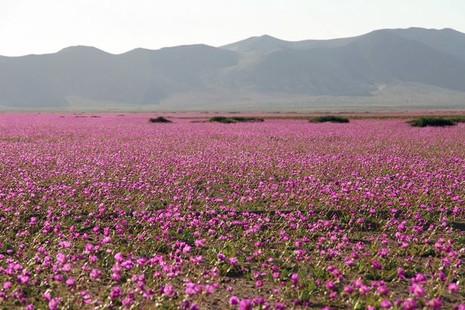 Sa mạc khô cằn bỗng chốc thành 'rừng hoa' đẹp ngỡ ngàng - ảnh 1