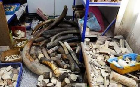Cảnh sát Trung Quốc tịch thu 600 kg ngà voi  - ảnh 1
