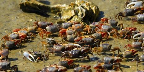 Triệu phú Trung Quốc mua 33.000 con cua thả xuống sông - ảnh 1