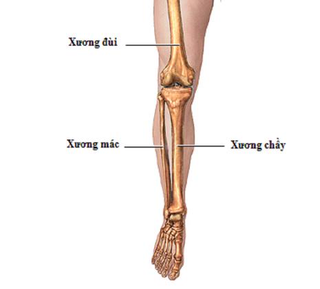 Vị trí xương mác được lấy để tái tạo