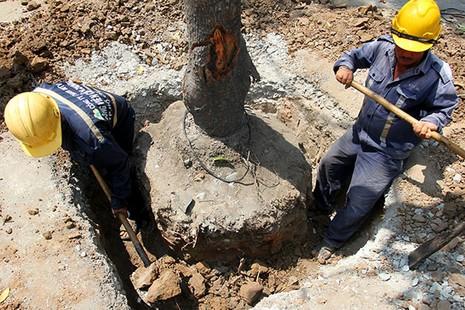 Bứng dưỡng 14 cây sọ khỉ trên đường Tôn Đức Thắng - ảnh 2