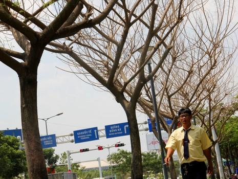 """Hàng loạt cây xanh ở TP.HCM """"chết đứng"""" - ảnh 3"""