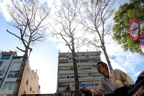 TP.HCM: 3 cây dầu trăm tuổi bỗng nhiên khô lá rồi chết bất thường - ảnh 2