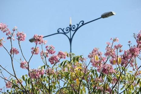 Ngất ngây với hoa kèn bên hầm Thủ Thiêm - ảnh 11