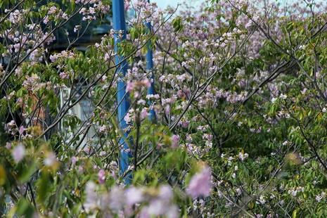 Ngất ngây với hoa kèn bên hầm Thủ Thiêm - ảnh 6